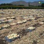 Campo de cebollas de Fuencampo