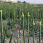 Plantas madre de cebollas